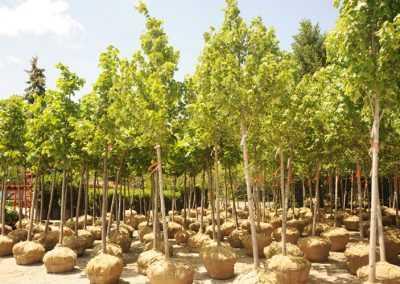 markham tree nursery