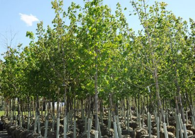 commercial tree nursery markham