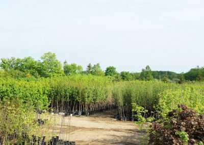 commercial tree nursery york region
